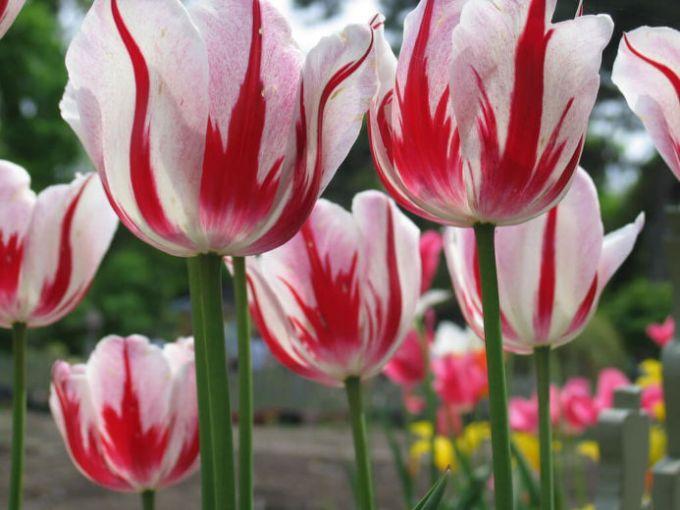 gambar sketsa buunga tulip