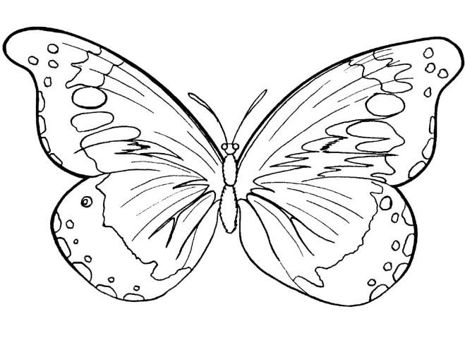 gambar sketsa kupu kupu