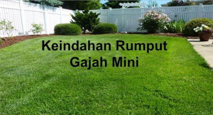 jual rumput gajah mini untuk taman