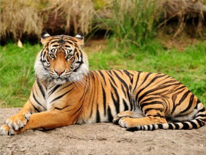 2. Harimau Sumatera