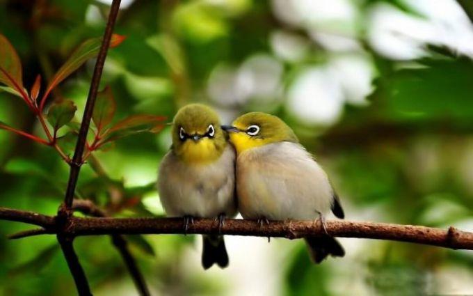 Burung Kacamata Sangihe