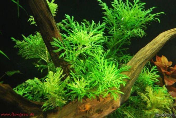 tanaman aquascape Water Wisteria