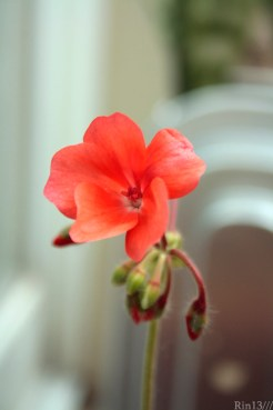 geranium flower (one that I grew!)