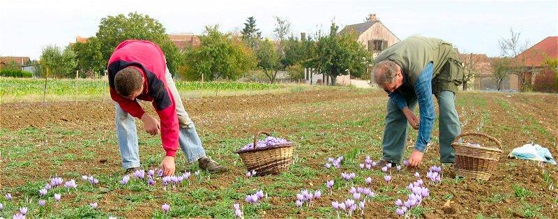 Recolte des bulbes