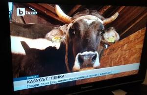 Penka the cow creates judicial precedent