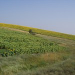View of sunflower fields from train to Straldja, Bulgaria