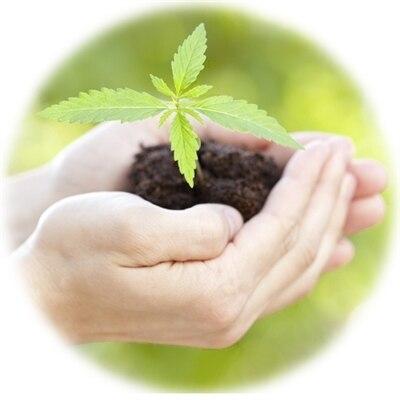Viable Hemp Seeds for Sale for Long Fiber