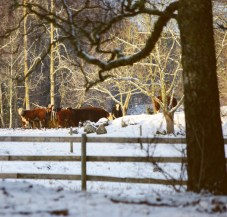 Kohage vinter Foto:Erik Norrman
