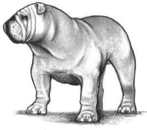 AKC Bulldog Standard