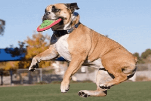 Performance Bulldogs