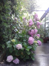 jour de pluie - hortensia