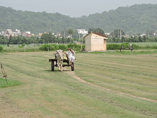 A_farmer_coming_to_field_with_bullock_cartIndia