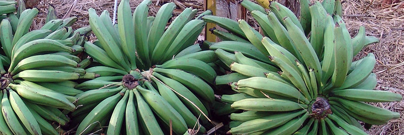 Plantain fruits.