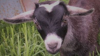 Photo of Guide On Worming Pygmy Goats