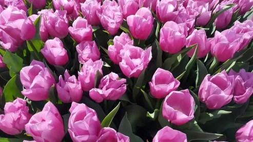 Tulpenfestival Amsterdam