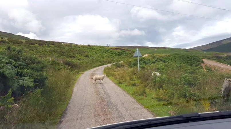 Schaf in den Highlands