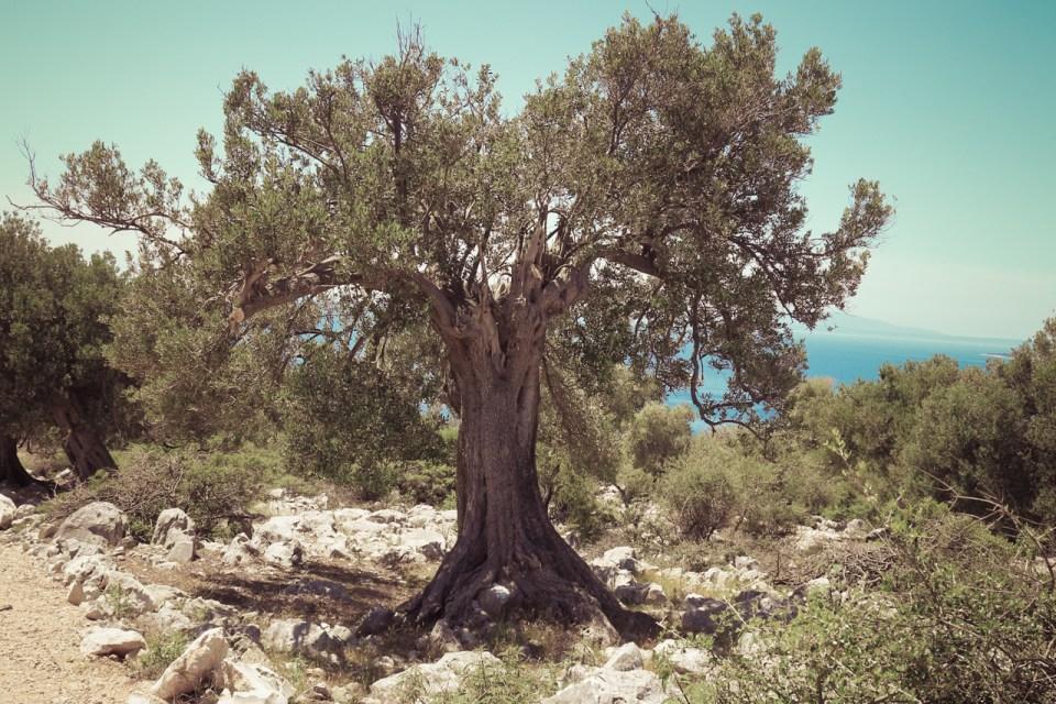 Olivenbaum in Kroatien