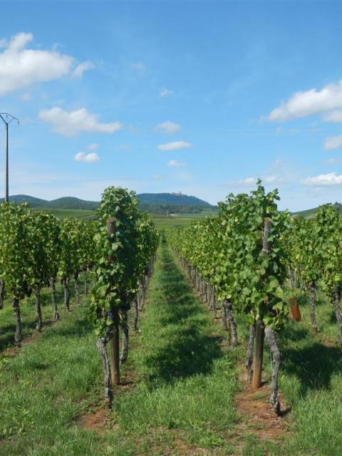 FahrradwegeWeinreben Alsace