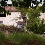 Freilaufende Steinböcke in Spanien
