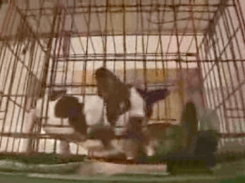 Screen capture of French Bulldog in cage at Montreal puppy mill bust