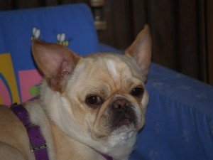 Yoda - French Bulldog Chihuahua Mix available for adoption