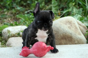 Pickle the Crazy French Bulldog puppy