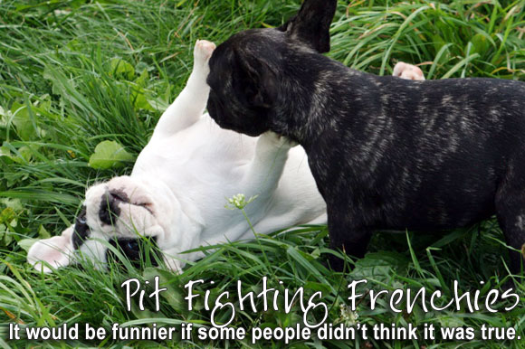 Pit Fighting Frenchies