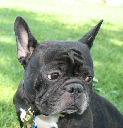 Spicy the Foster French Bulldog