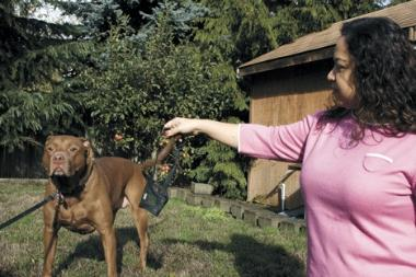 Leeon and Lorriane Stecher can now walk their pit bull-chocolate lab mix, Angel, in Oak Harbor city limits without a muzzle