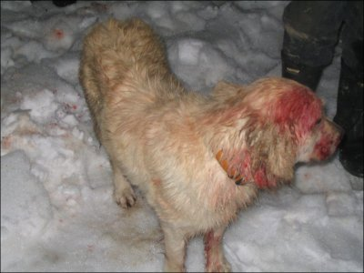 Angel the golden retriever is shown after a battle with a cougar in Boston Bar, B.C.