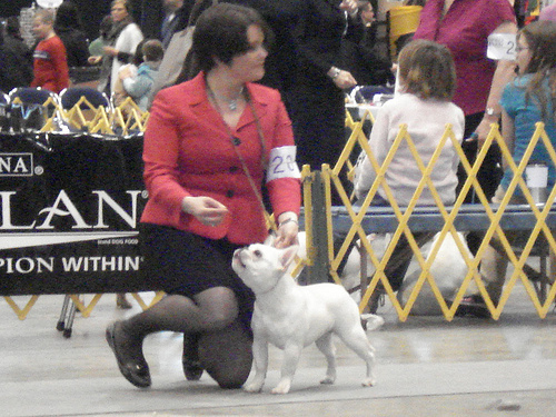 Luke is showing in the French Bulldog six to nine month puppy class