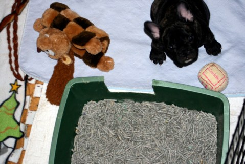 French Bulldog puppy with litter box