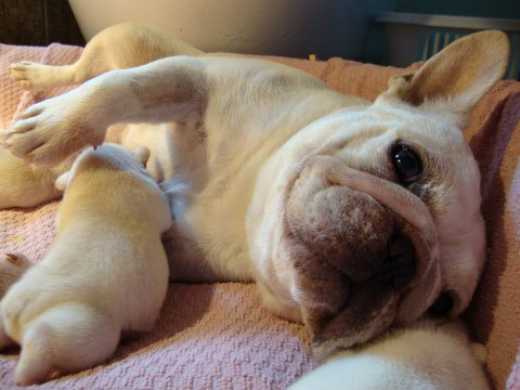 Butters loves her baby French Bulldog puppies