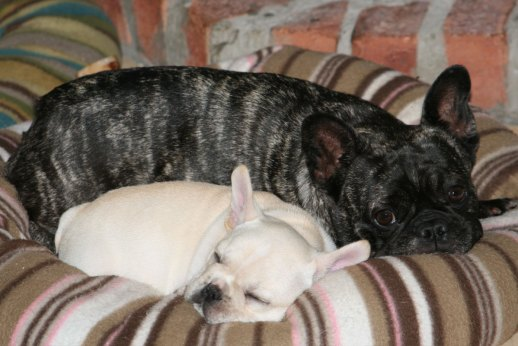 Caleb and Pickle, Cream and Brindle French Bulldog puppies