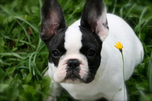 Normal thyroid function is essential to a vigorous French Bulldog breeding program