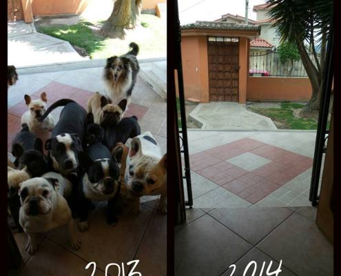 Justice for the French Bulldogs of Criadero D Kasta