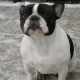 Lucy is an available French Bulldog Rescue in Ontario Canada