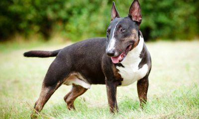 The Bull Terrier