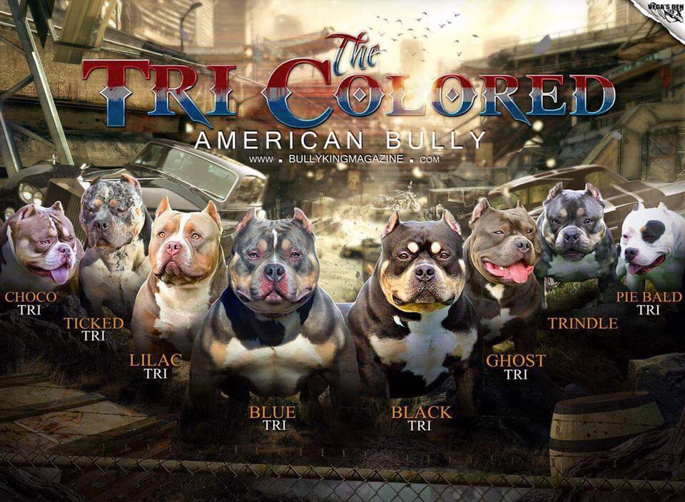 The Many Colors of the American Bully: Tri Color Variations