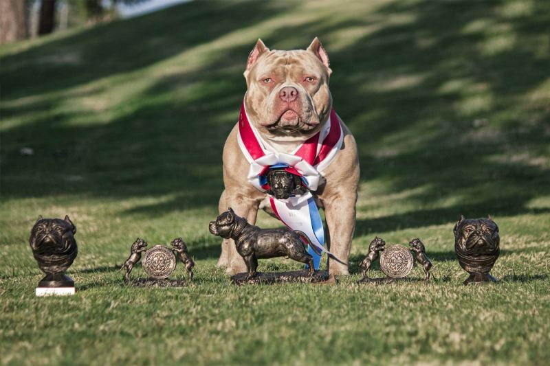 american-bully-with-trophies