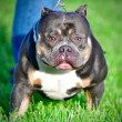 Dawghouse Bullies ABKC Champion Big Apache