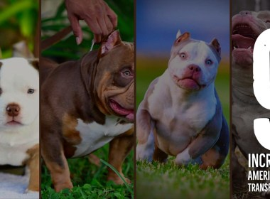 american-bully-bloodlines-pocket-bully-kennels