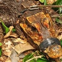 Откриха оранжев крокодил в Централна Африка