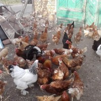 Разгадаха езика на кокошките