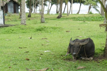 Notice this coconut grove by the sea on your way to Mapaso. The carabao grass is well maintained by what else -- a carabao as resident mower.
