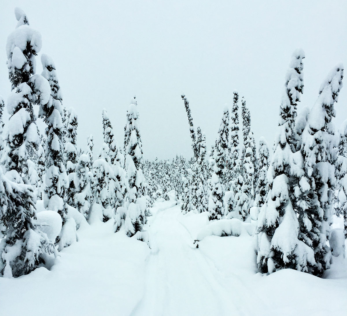 Snowy-Trees-In-Fairbanks-Alaska-By-Bumble-and-Bustle