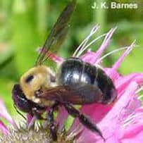 image of a carpenter bee on a flower