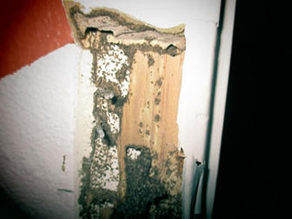 Termites eating a wall
