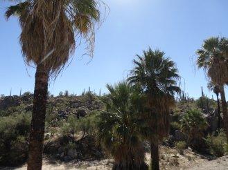 Palmen: ein Zeichen für Grundwasser