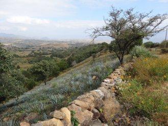 Agavenfelder - überall wo es Platz gibt werden sie angepflanzt